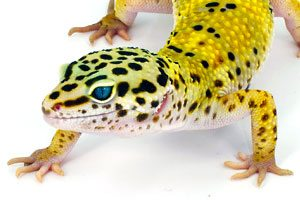 Gecko and Leopard Gecko Vivariums