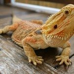 Different types of bearded dragon