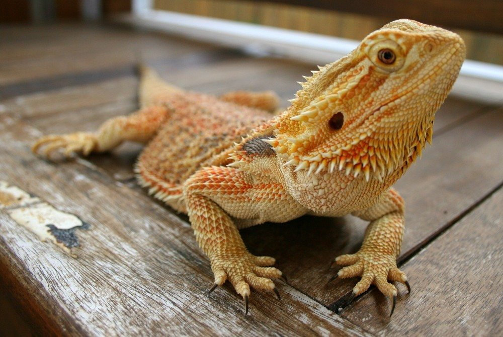 How Big Do Bearded Dragons Get?