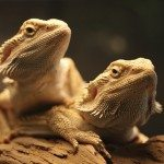 Should Bearded Dragons Live Together?