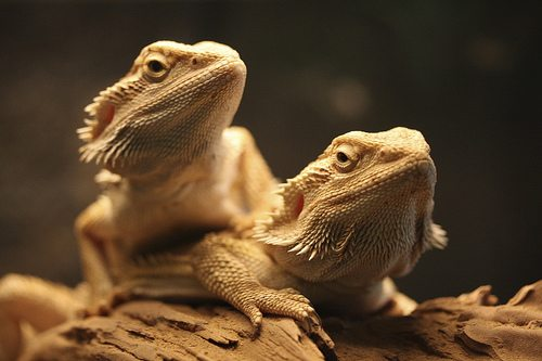 Can Two Bearded Dragons Be Kept Together?
