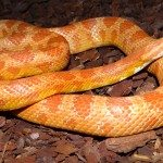 What Size Vivarium Does a Corn Snake Need
