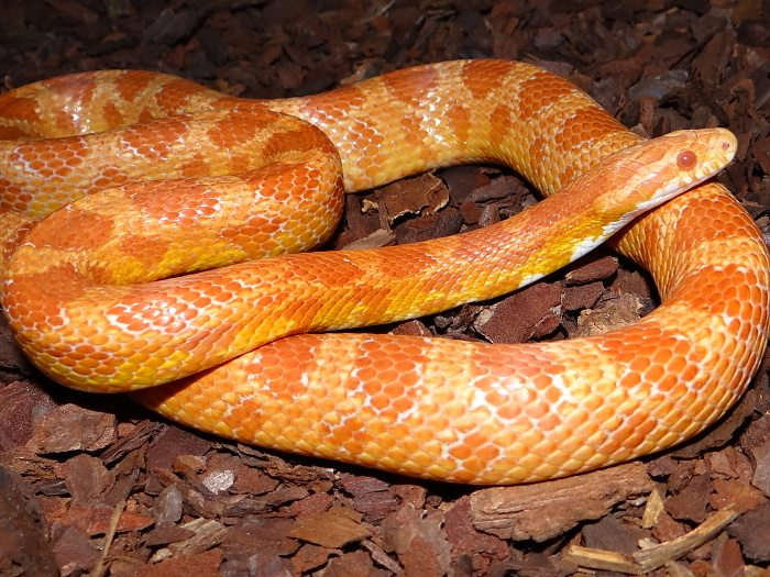 What Size Vivarium Does a Corn Snake Need?