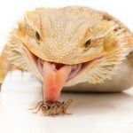 Bearded-Dragon-Food