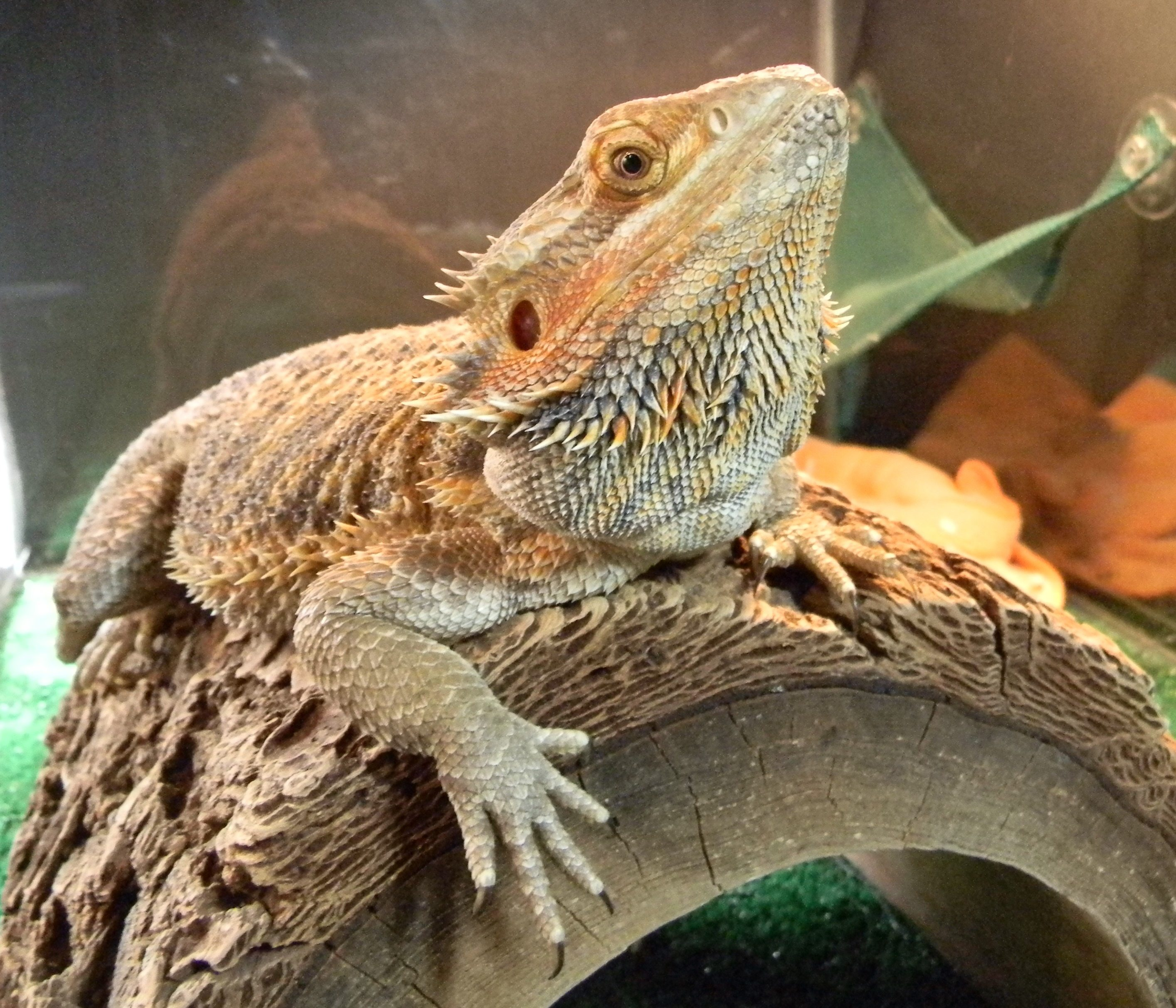 Heating-bearded-dragons-at-night