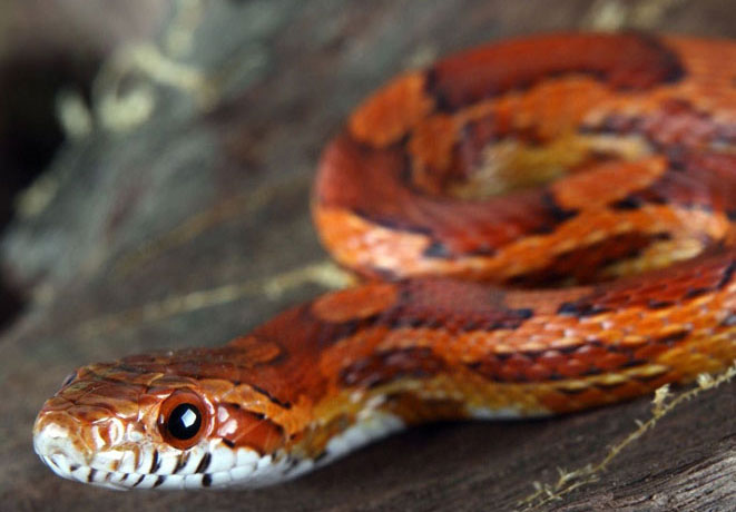 Best Corn Snake Starter Kits