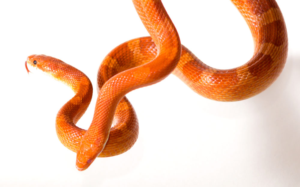 Can Two Corn Snakes Be Kept Together?