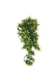 Komodo Croton Plant, 40 cm