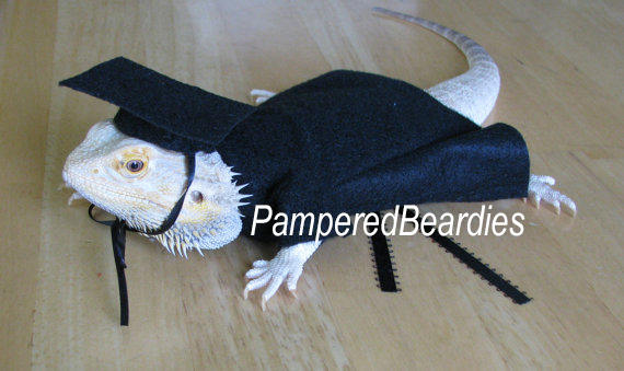 Graduation Cap & Gown for Bearded Dragons with Custom Tassels! Two gown colors, one size fits most.