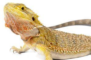 Bearded Dragon Vivariums