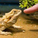 5 Reasons Bearded Dragons Make Great Pets