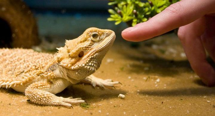 5 Reasons Bearded Dragons Make Great Pets