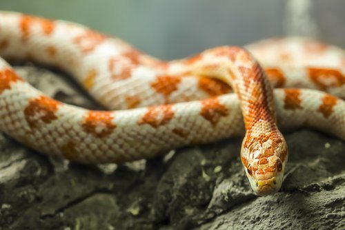What is the Right Temperature for Corn Snakes?