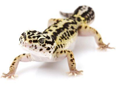 Top 5 Best Pet Lizards for Beginners