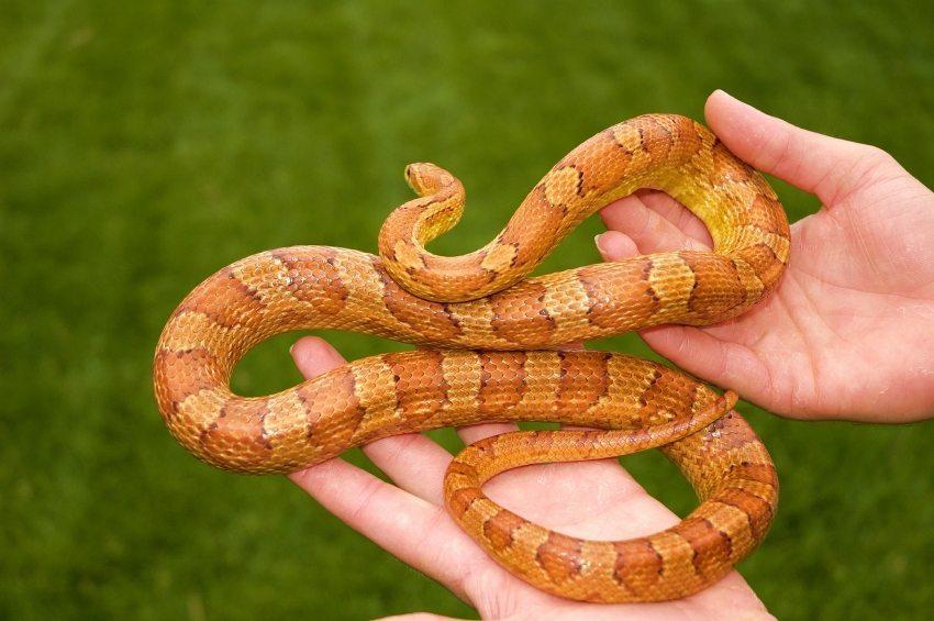 5 Reasons Corn Snakes Make Great Pets