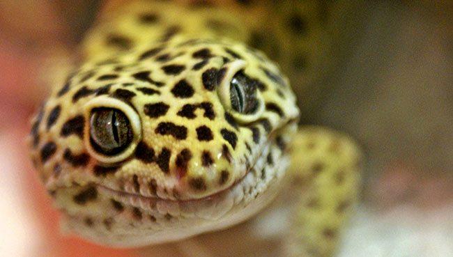 Best Leopard Gecko Starter Kits