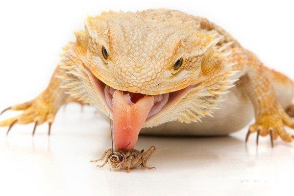 A Guide to Bearded Dragon Diet, Food & Nutrition