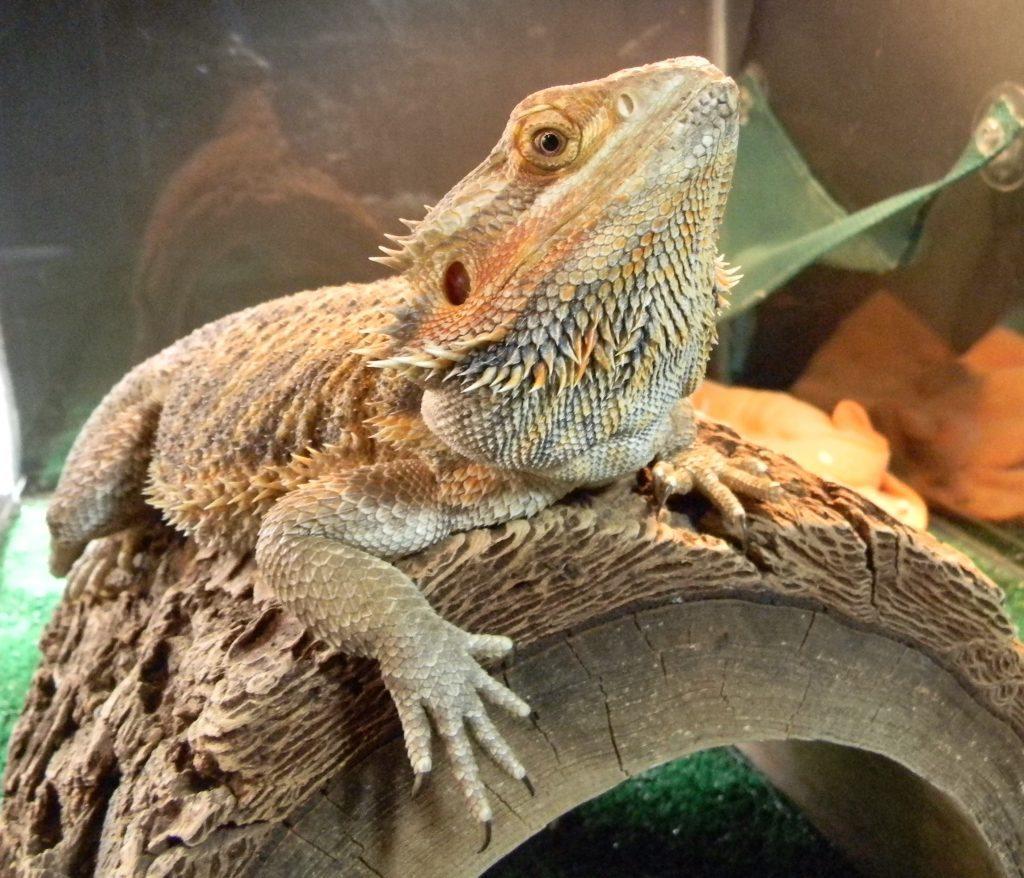 Do Bearded Dragons Need Heat At Night Vivarium World