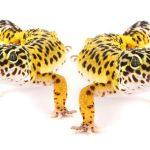 Can leopard geckos live together