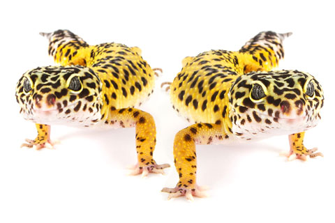 Can Two Leopard Geckos Be Kept Together?