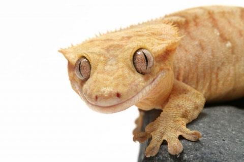 Crested Gecko Setup