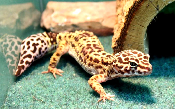 Best Cheap Vivariums for Leopard Geckos